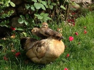activité-poules et poussins