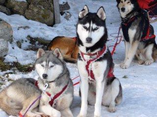 chiens traineaux Altipik Mont-Saxonnex