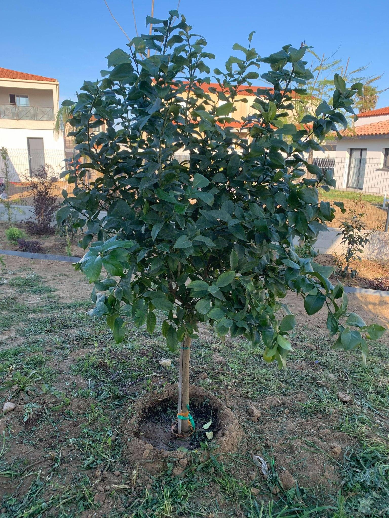 Citronnier - Citrus sinensis Albera pep 25L