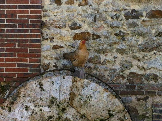 Poule sur vielle meule du moulin