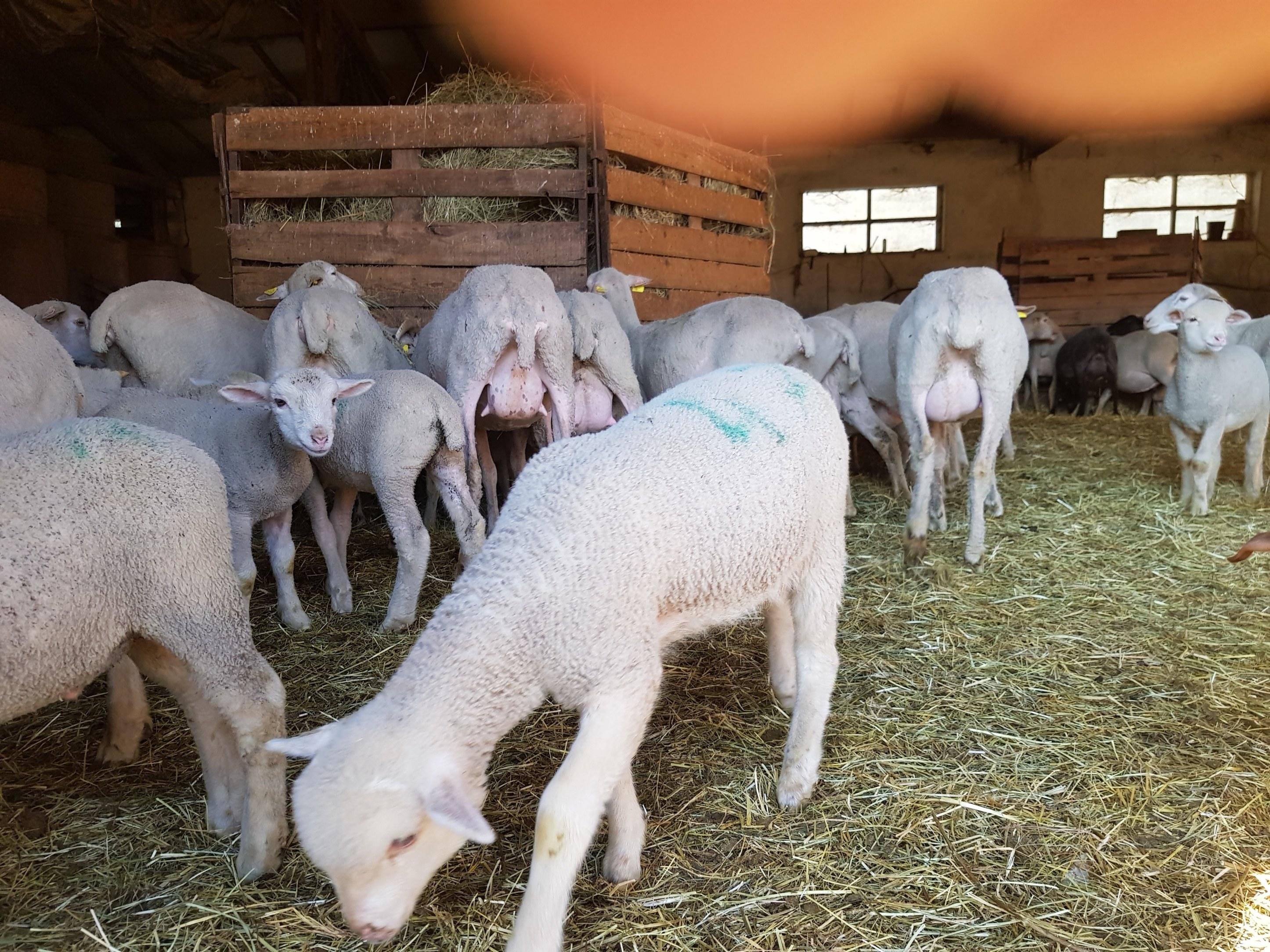les agneaux de tartonne