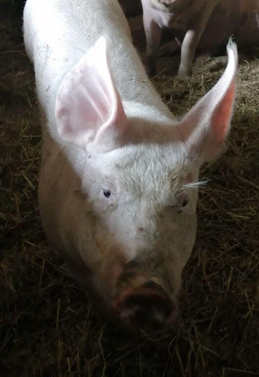 cochonnette4_1 Au Cochon Pailleux Exploitation Agricole à Châteuneuf