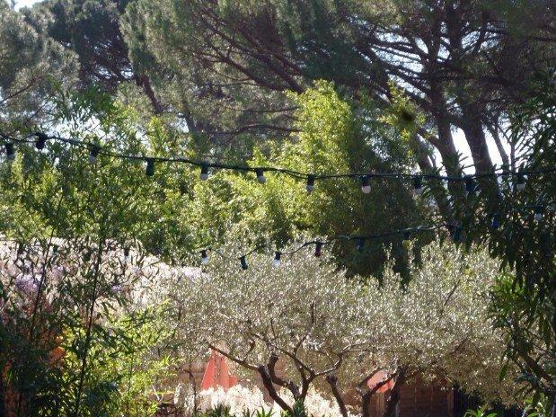 Les magnifiques Pins et la glycine