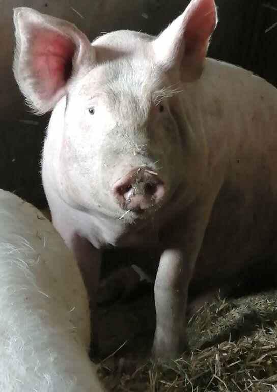 cochonnette3_1 Au Cochon Pailleux Exploitation Agricole à Châteuneuf