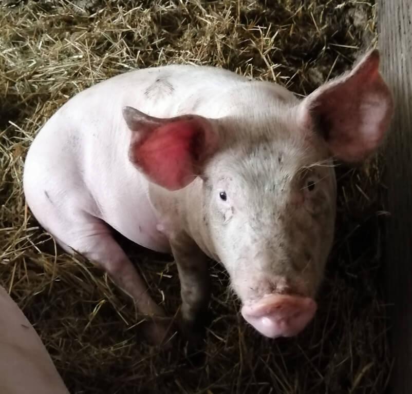 cochonnette7_1 Au Cochon Pailleux Exploitation Agricole à Châteuneuf