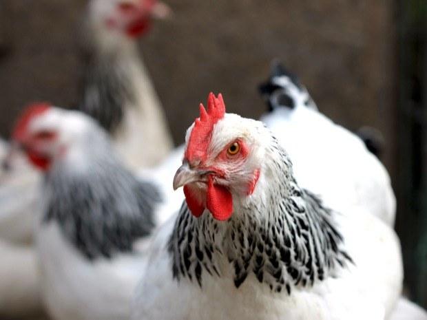poule-sussex
