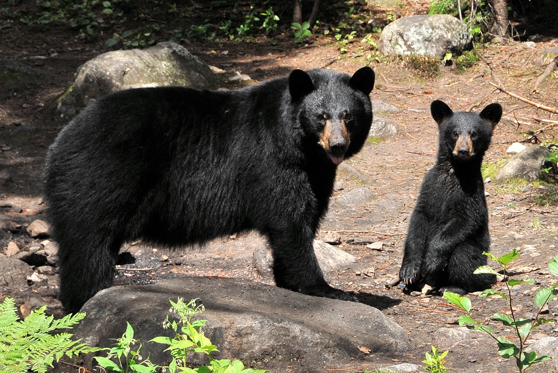 observation-ours-bruns-auberge-cap-aux-corbeaux