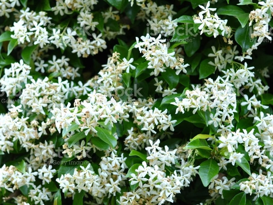 Fleurs Trachelospermum jasminoides jasmin étoilé Albera Pep