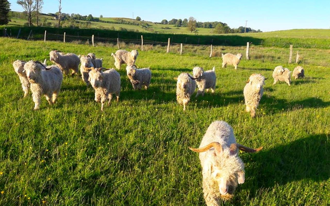 La-chèvre-Angora1.1