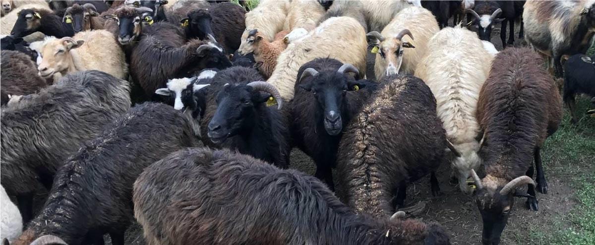 élevage chèvres