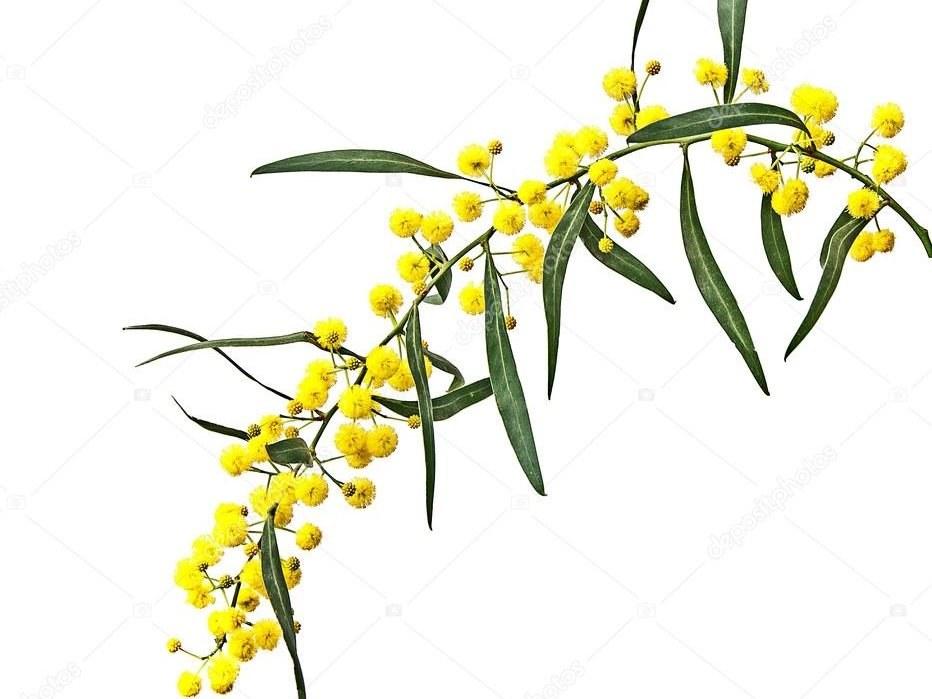 acacia cyanophylla - Mimosa- Albera Pep fleur .jpeg