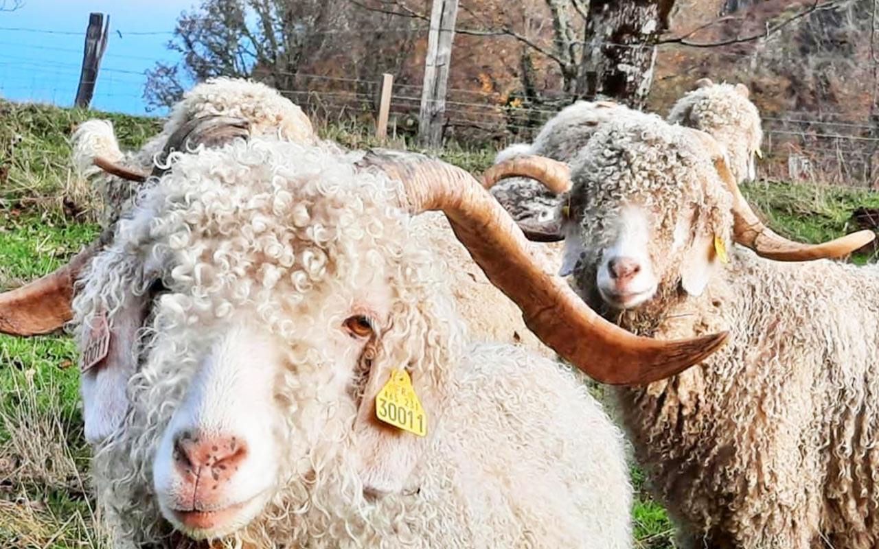 La-chèvre-Angora1.4