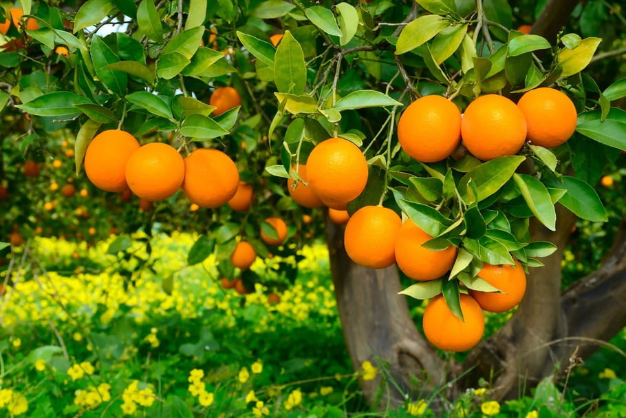 Citrus sinensis - fruit - albera pep