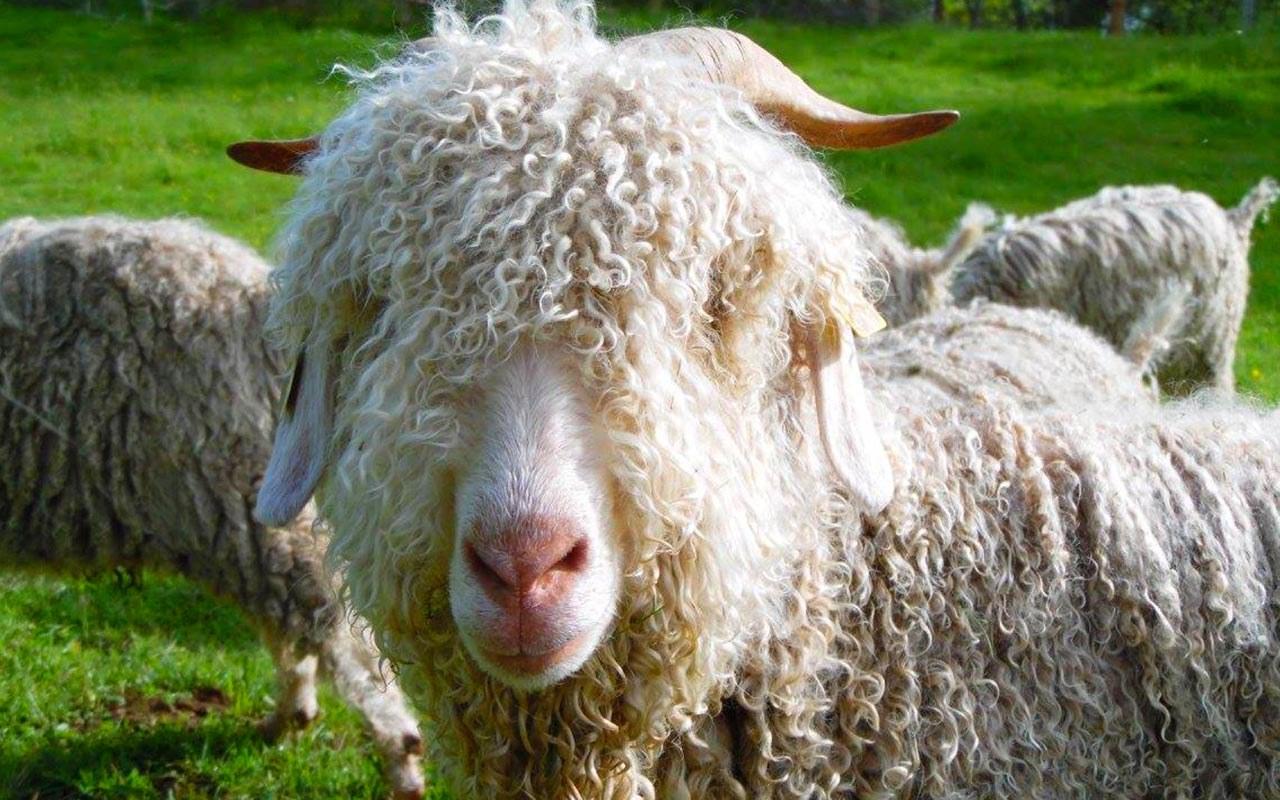 La-chèvre-Angora1.5