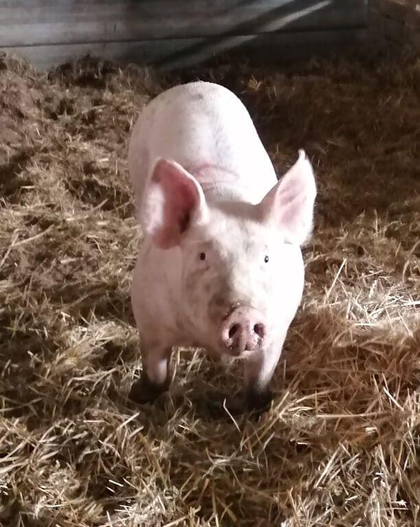 cochonnette_1 Au Cochon Pailleux Exploitation Agricole à Châteuneuf