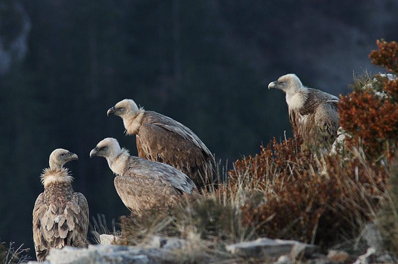 vautours de remuzat