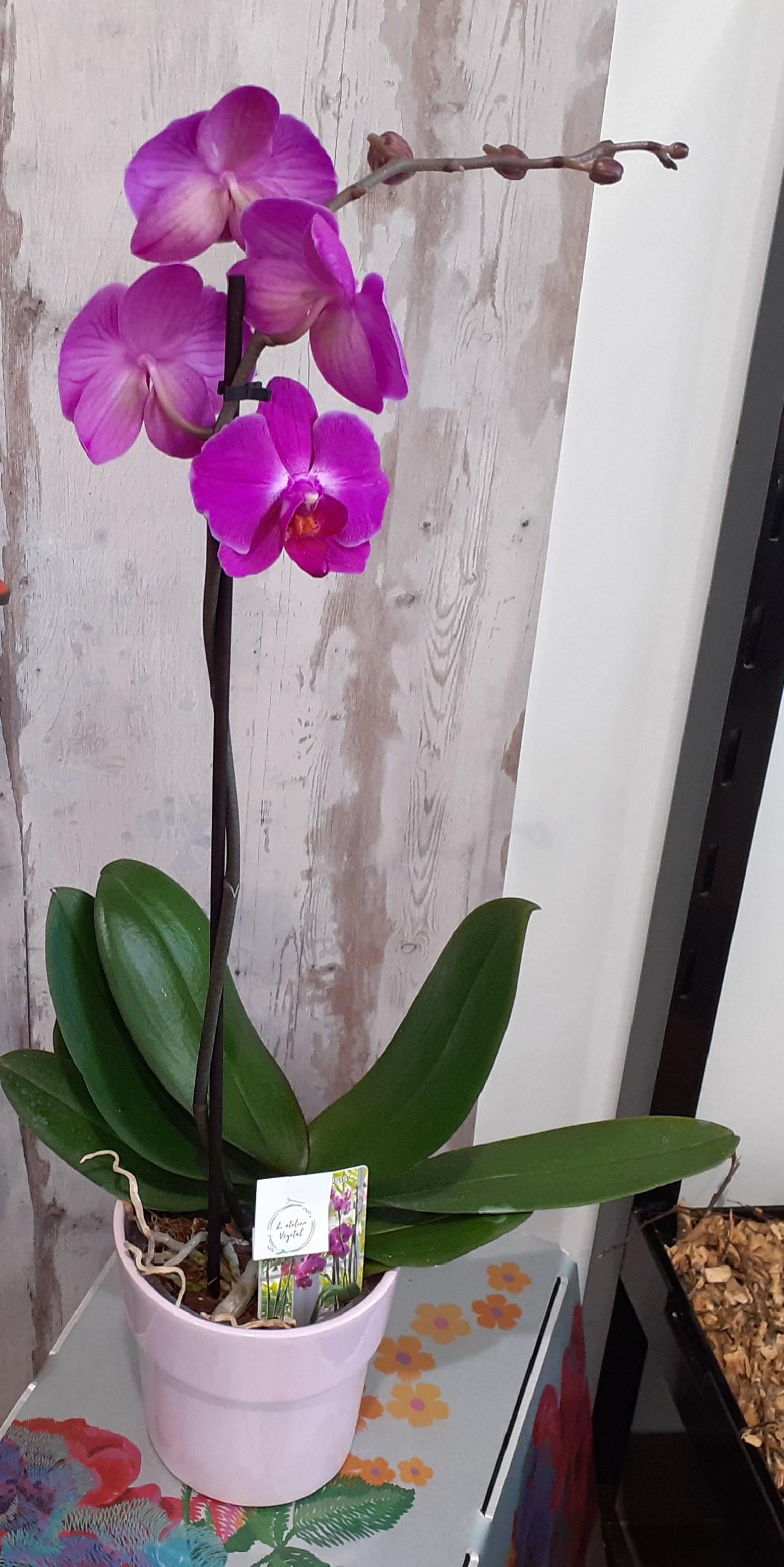 Phalaenopsis  1 tige