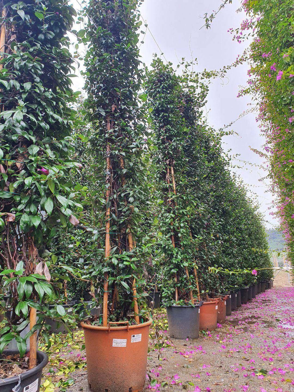 Trachelospermum jasminoides - jasmin étoilé 3m - Albera pep