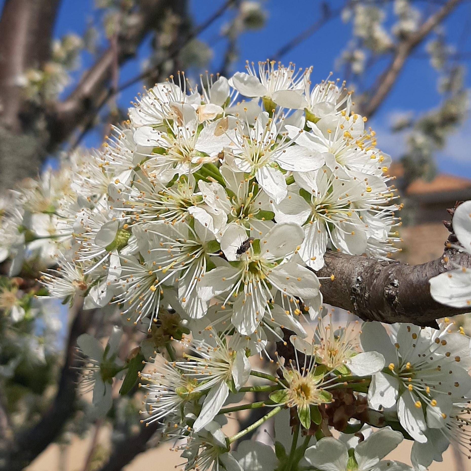Fleurs pruniers