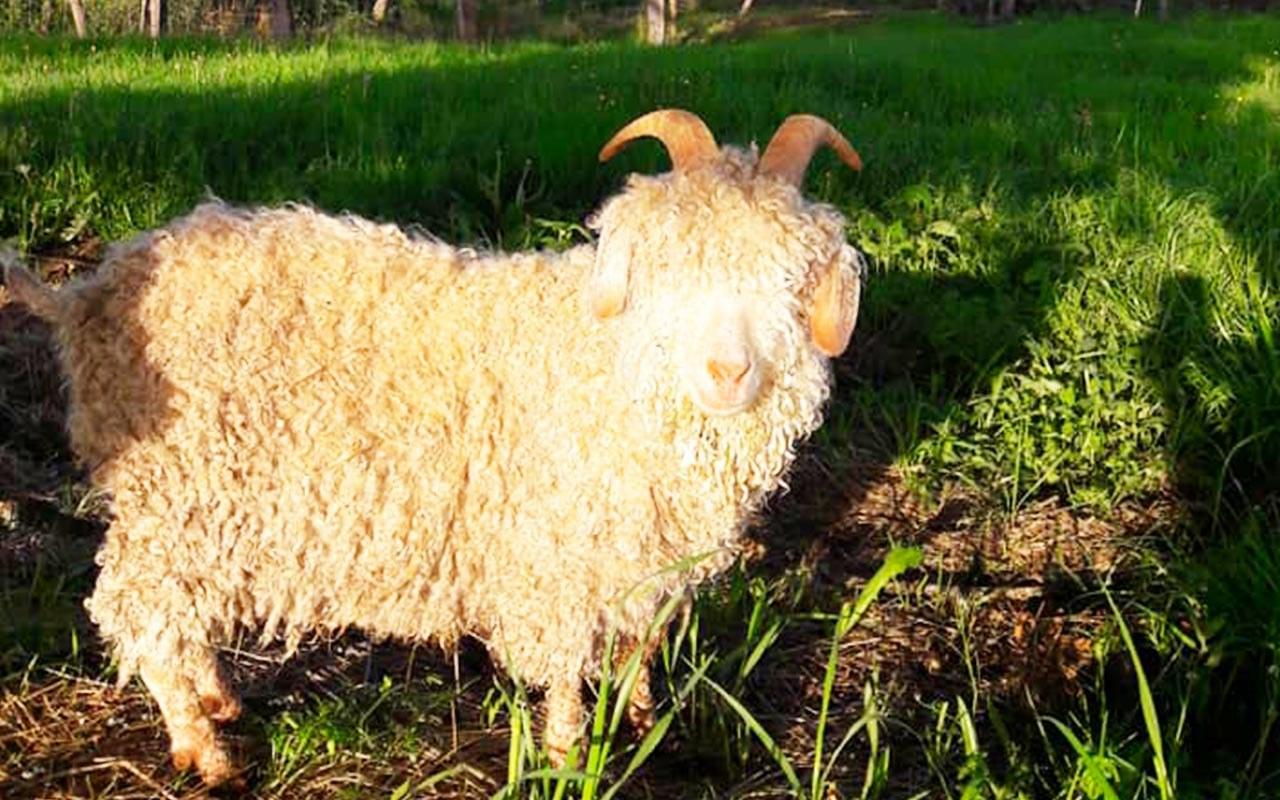 La-chèvre-Angora