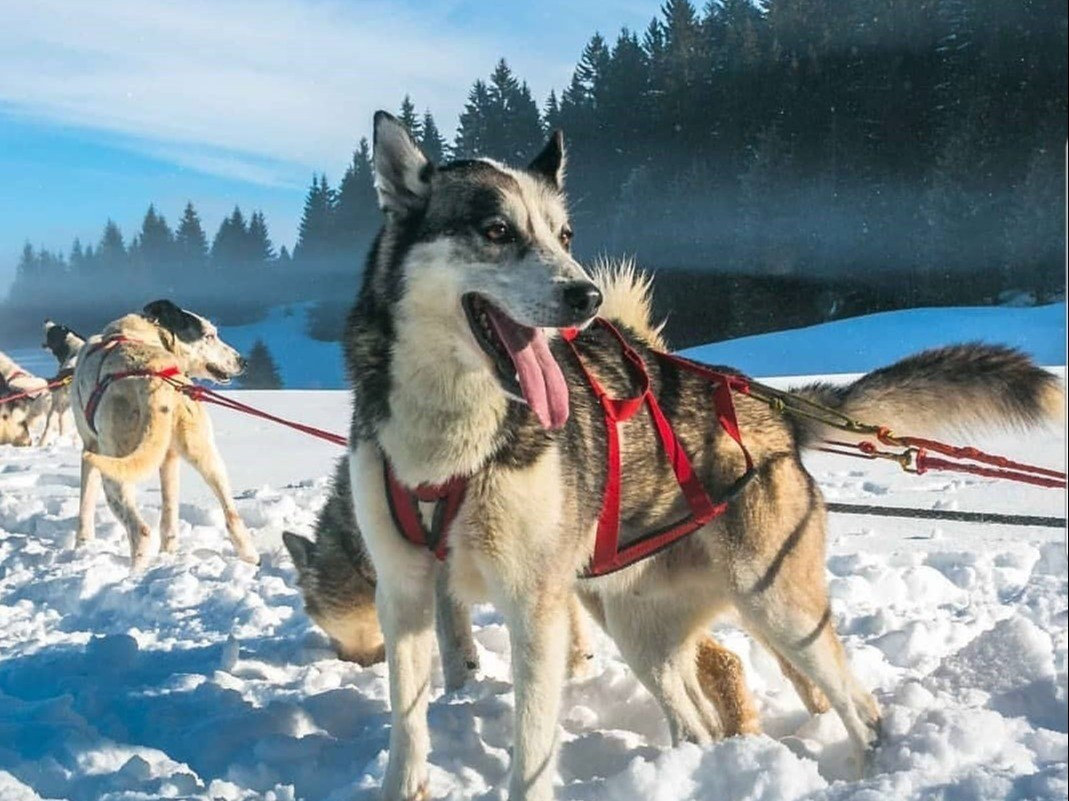 gite-de-groupe-jura-marlaya-neige-chien-traineau-foret-sapin