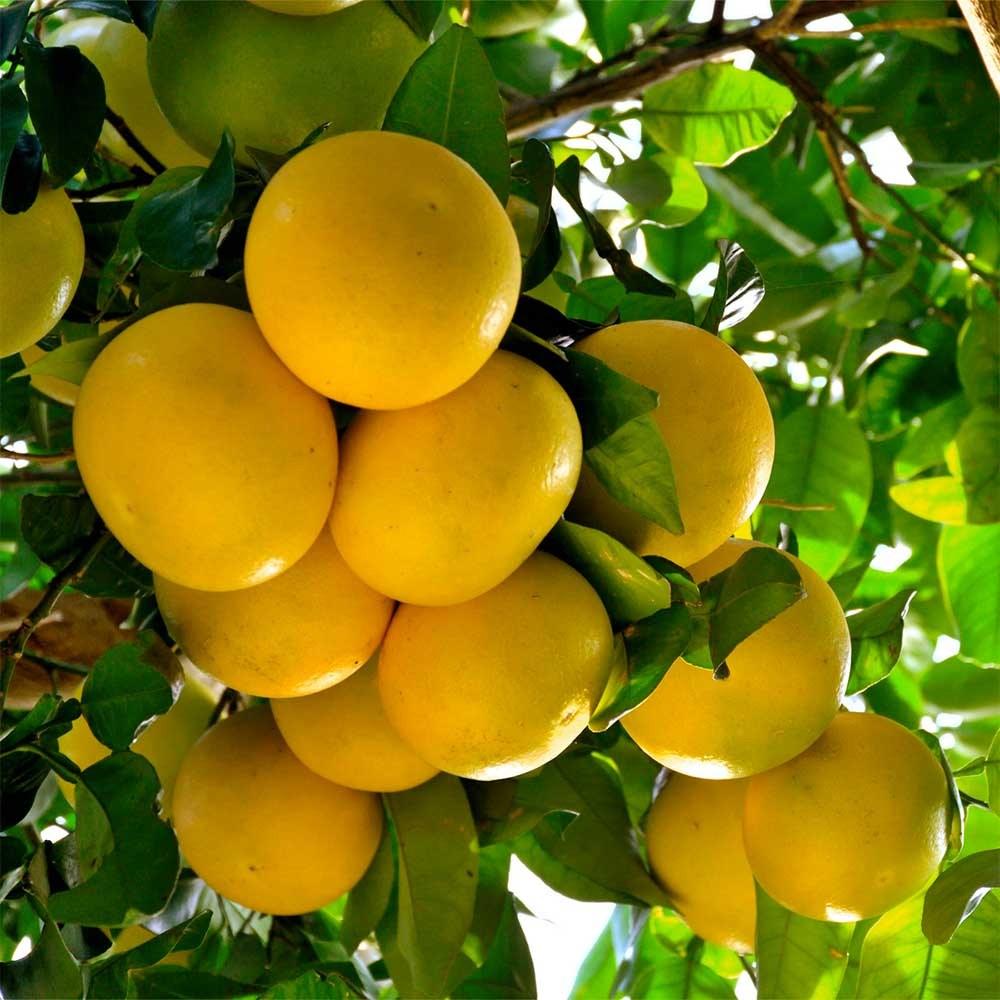 Pomelos fruit albera pep