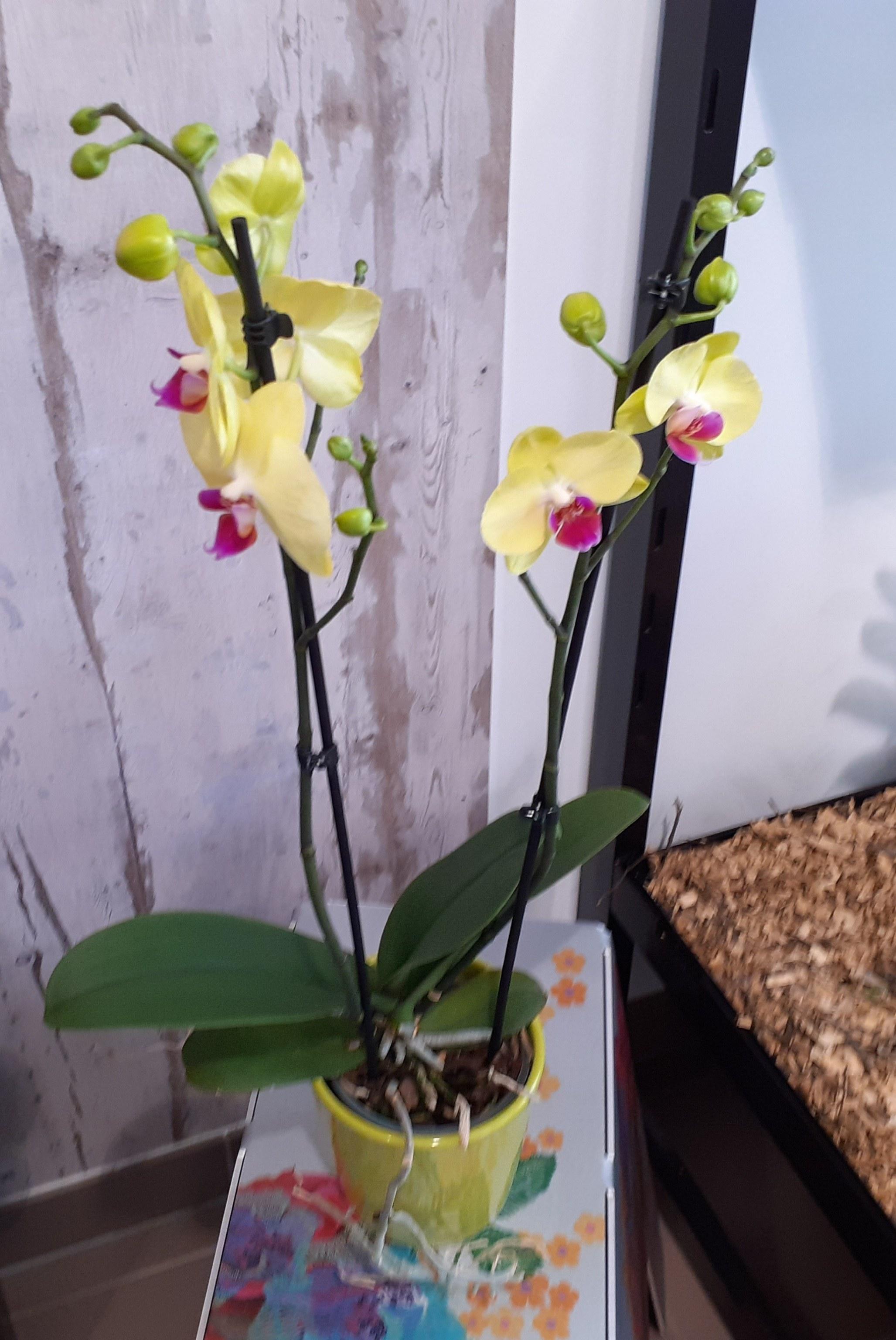 Phalaenopsis colorée