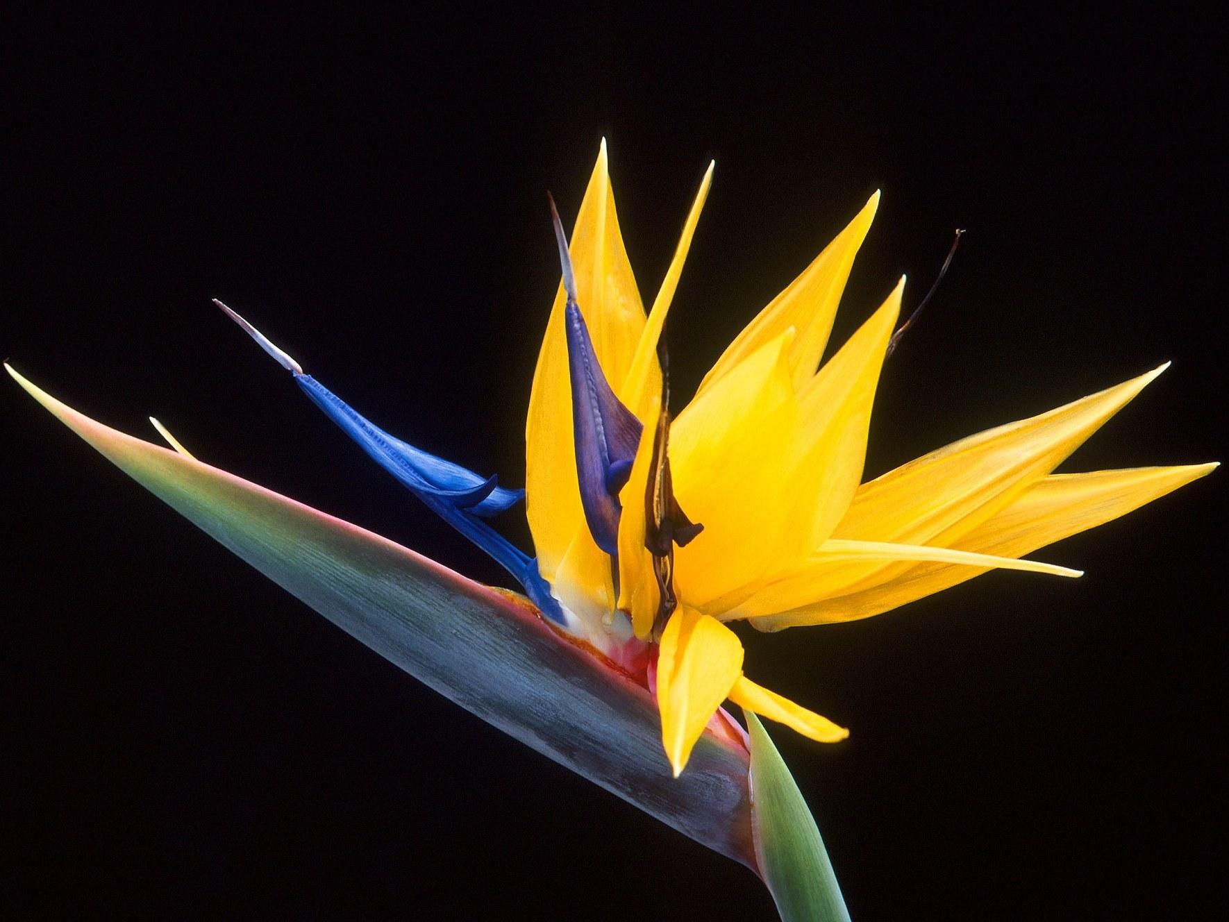 Strelitzia_reginae fleur Albera Pep