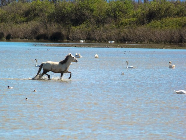 chevaux - camargue - camping l'olivier
