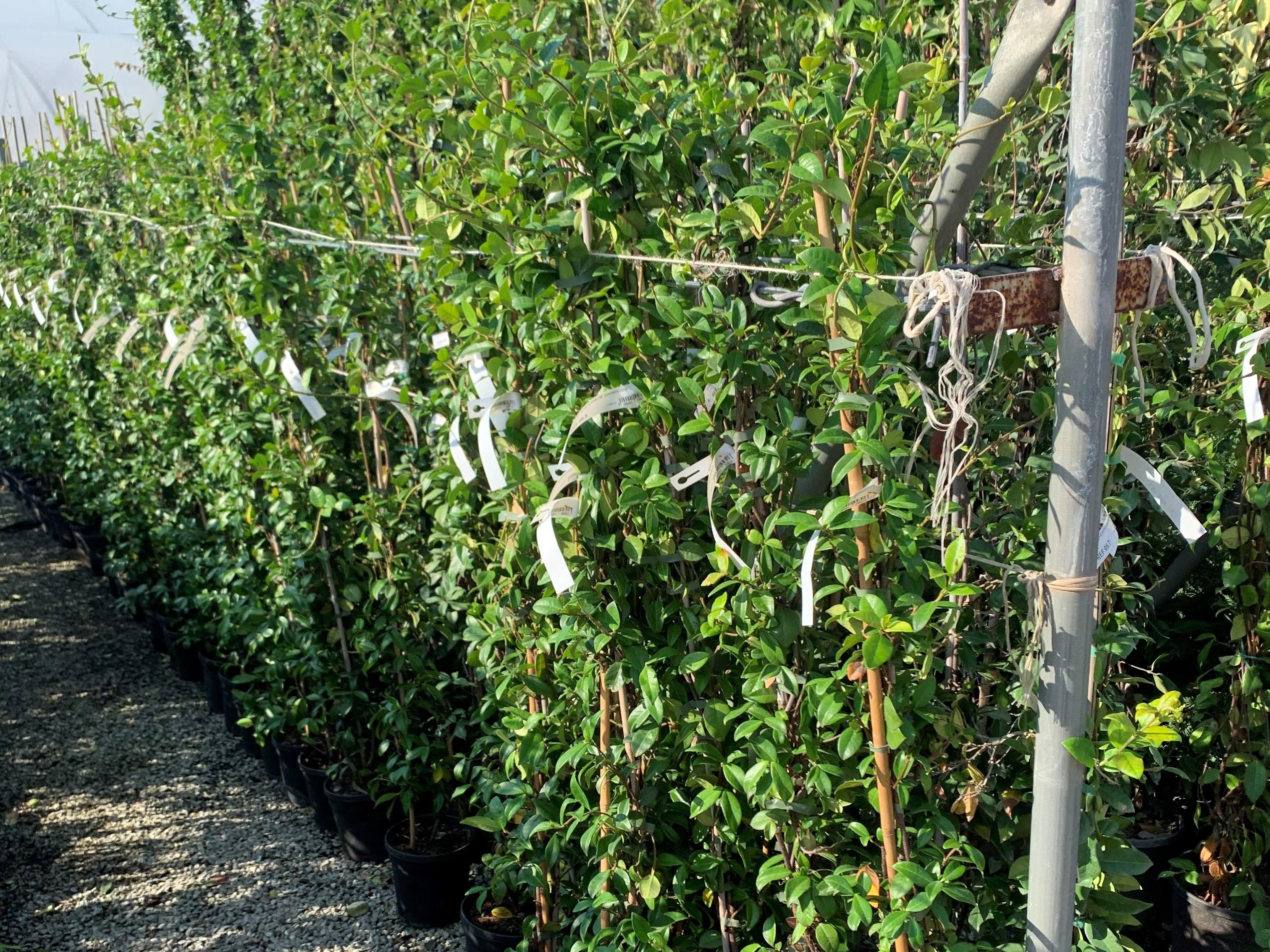 Trachelospermum jasminoides jasmin étoilé Albera Pep perpignan