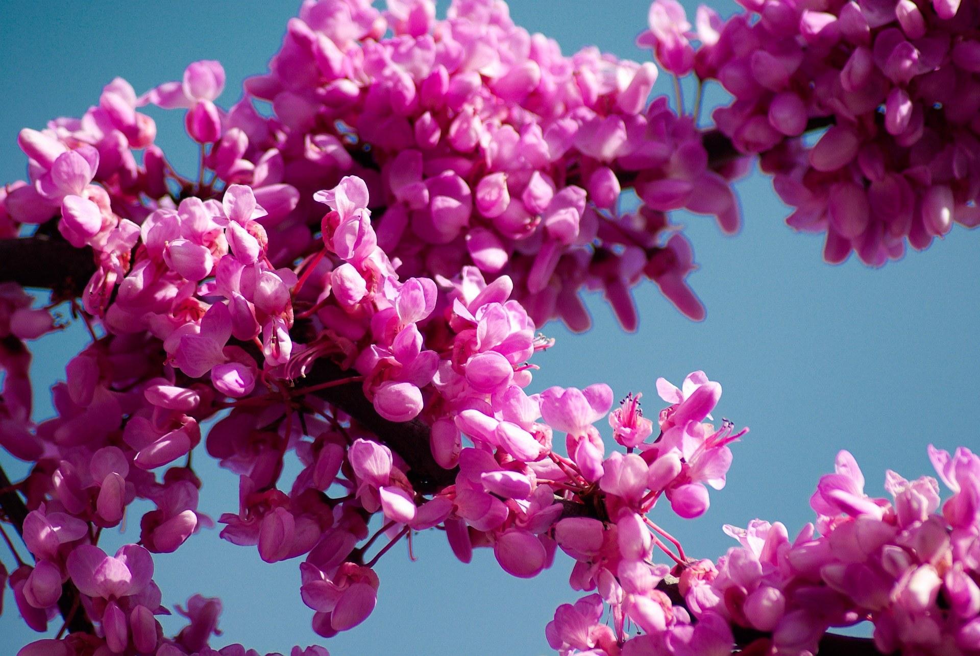 Cercis siliquastrum - Arbre judée - Floraison - Albera Pep