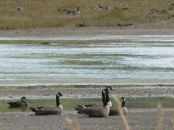 Canada goose migration path