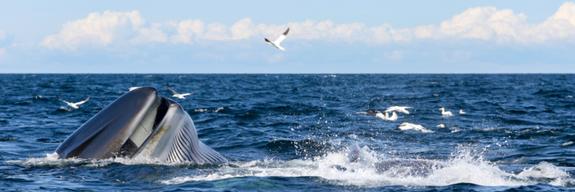baleines-bleues