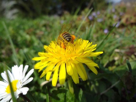 abeille02 Anne-Sophie Herin : votre apicultrice à Lagnieu