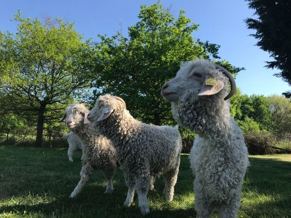 ferme-maugerie-chambre-hotes-mohair